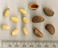 польза скорлупы кедровых орехов