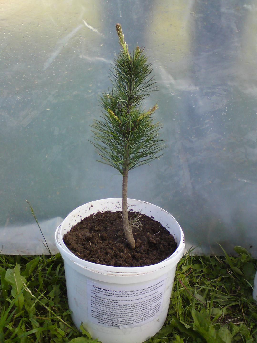 Как вырастить кедр в домашних условиях из семян