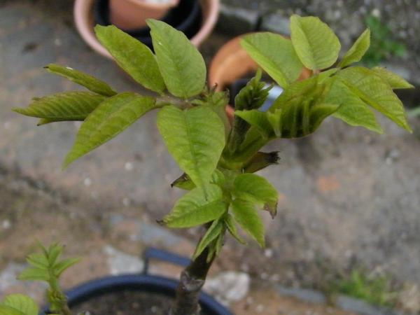 Выращивание фундук из ореха в домашних условиях 55